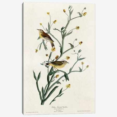 Yellow Red Poll Warbler Canvas Print #VAC394} by Vintage Apple Collection Canvas Wall Art