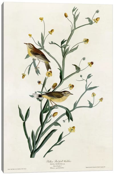 Yellow Red Poll Warbler Canvas Print #VAC394