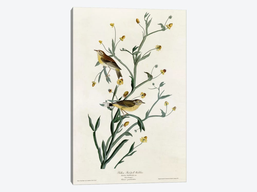 Yellow Red Poll Warbler by Vintage Apple Collection 1-piece Canvas Art Print