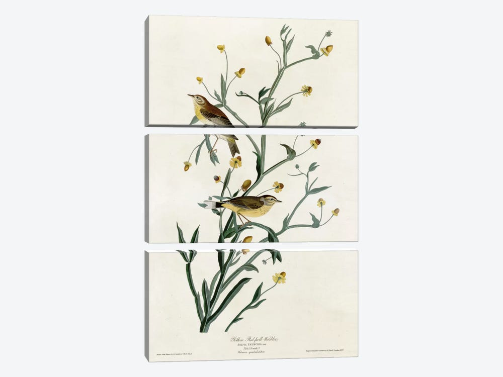 Yellow Red Poll Warbler by Vintage Apple Collection 3-piece Canvas Print