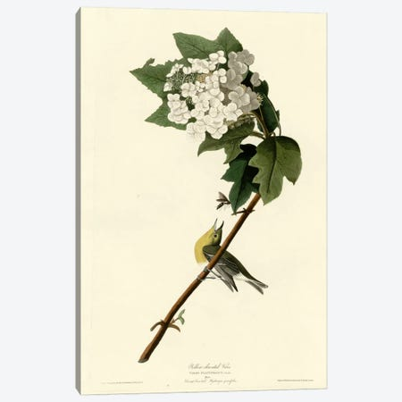 Yellow Throated Vireo Canvas Print #VAC395} by Vintage Apple Collection Canvas Artwork