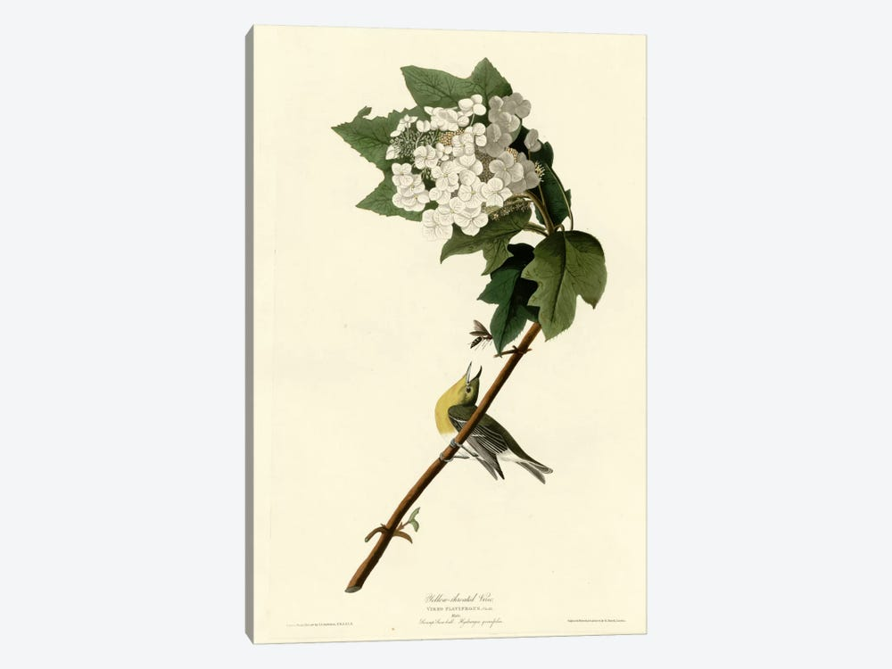 Yellow Throated Vireo by Vintage Apple Collection 1-piece Canvas Art