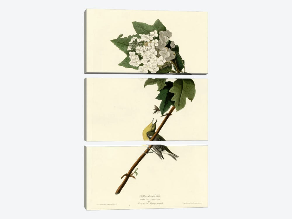 Yellow Throated Vireo by Vintage Apple Collection 3-piece Canvas Artwork