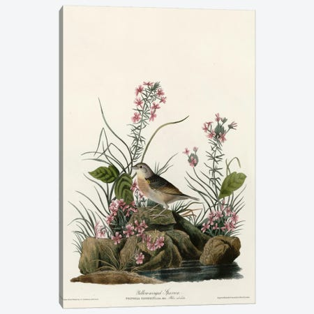 Yellow Winged Sparrow Canvas Print #VAC396} by Vintage Apple Collection Canvas Art