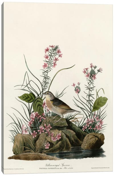 Yellow Winged Sparrow Canvas Print #VAC396