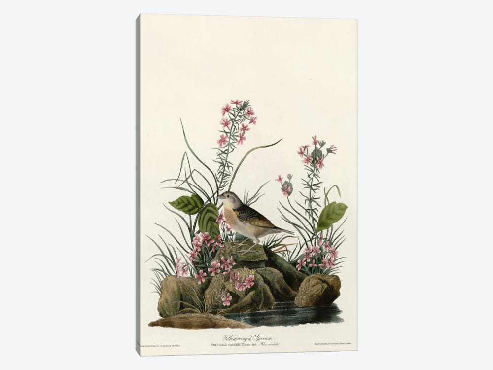 Yellow Winged Sparrow by Vintage Apple Collection 1-piece Canvas Print