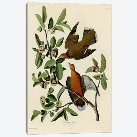 Zenaida Dove Canvas Print #VAC400} by Vintage Apple Collection Canvas Print