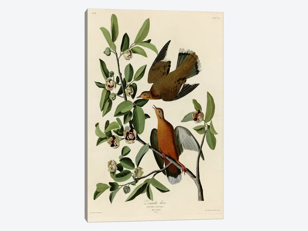 Zenaida Dove by Vintage Apple Collection 1-piece Canvas Print