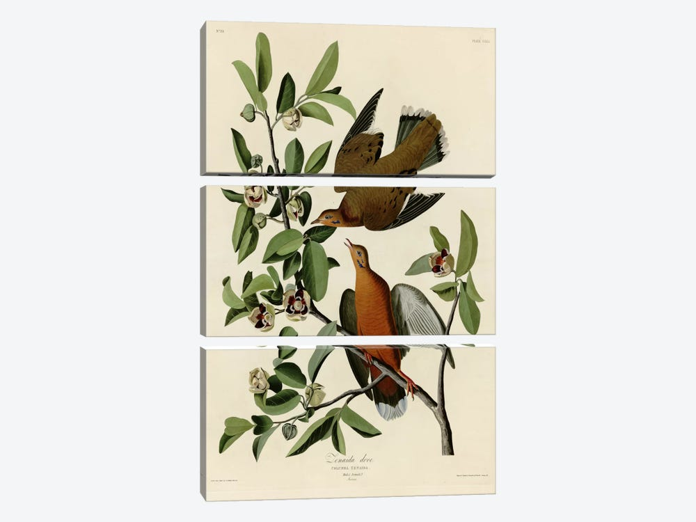 Zenaida Dove by Vintage Apple Collection 3-piece Art Print