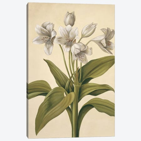 Lilies I Canvas Print #VHU11} by Virginia Huntington Canvas Art