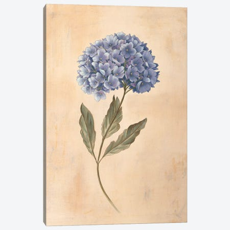 Hydrangea Canvas Print #VHU15} by Virginia Huntington Art Print