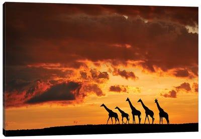 Five Giraffes Canvas Art Print