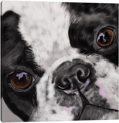 Boston Terrier Close Up Canvas Art Print