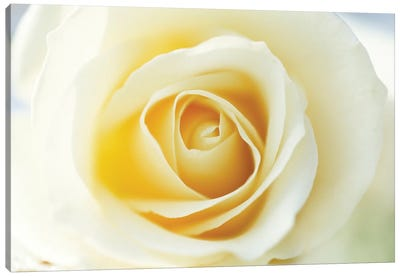 Rose Close Up Of White Rose In Bloom Canvas Art Print