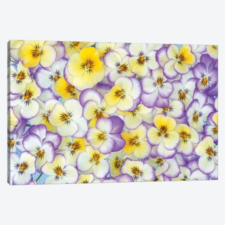 Violet Flowers In White, Yellow And Purple, Europe And North America Canvas Print #VRM3} by Jan Vermeer Art Print