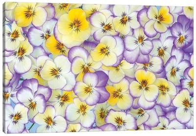 Violet Flowers In White, Yellow And Purple, Europe And North America Canvas Art Print
