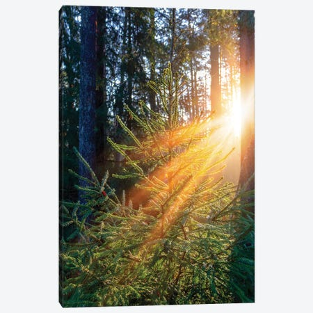 Sunrise In Forest Illuminates Green Spruce Tree Canvas Print #VRY249} by Valery Rybakow Canvas Art