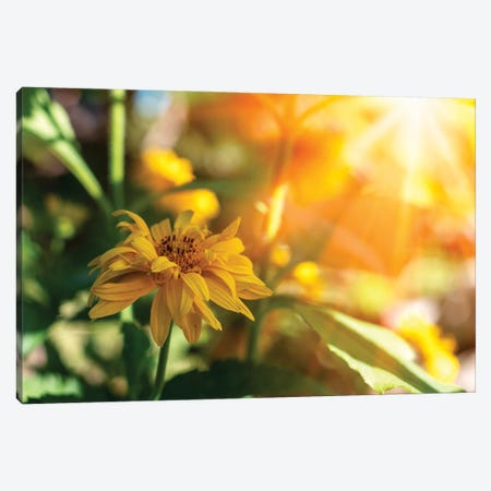 Beautiful yellow marigold flowers - medicinal herb, sunny flowers Canvas Print #VRY405} by Valery Rybakow Canvas Print