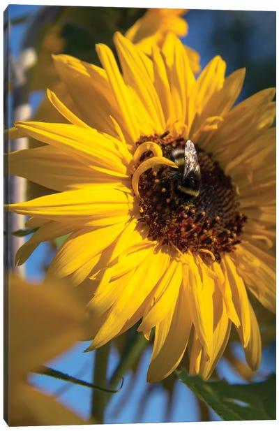 Bumblebee Bee On A Sunflower Flower Canvas Art Print