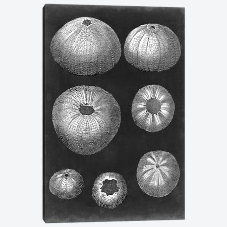 Alabaster Shells IV Canvas Print #VSN134} by Vision Studio Canvas Art Print