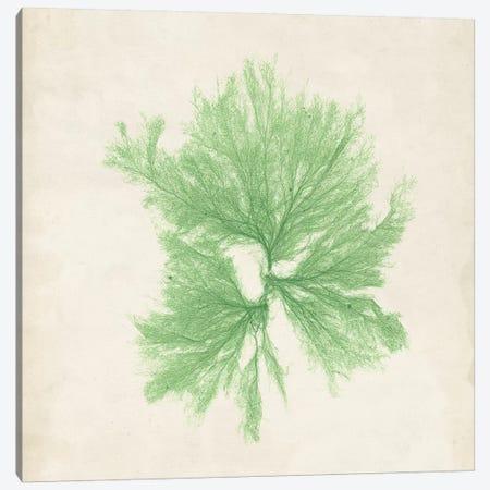 Peridot Seaweed III Canvas Print #VSN191} by Vision Studio Canvas Art