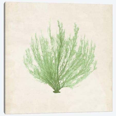 Peridot Seaweed VI Canvas Print #VSN194} by Vision Studio Canvas Print