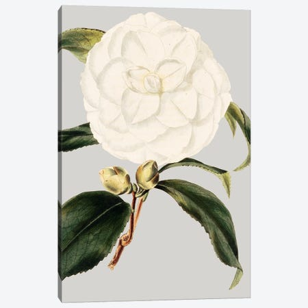 Camellia Japonica I Canvas Print #VSN19} by Vision Studio Art Print