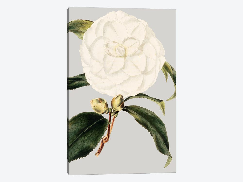 Camellia Japonica I by Vision Studio 1-piece Canvas Art