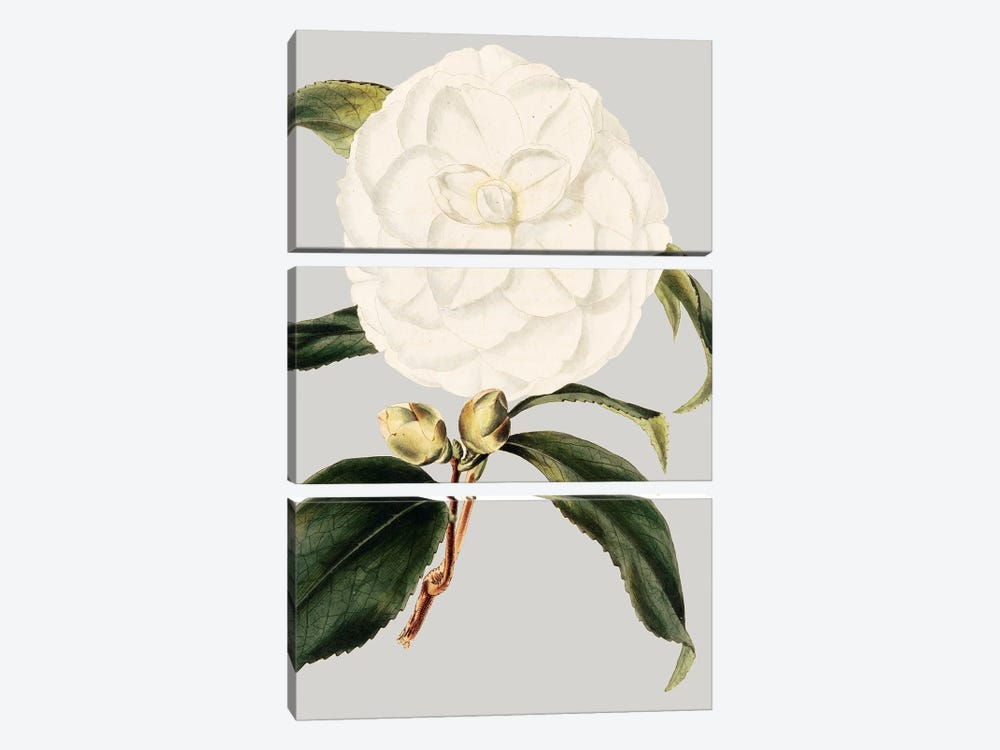 Camellia Japonica I by Vision Studio 3-piece Canvas Artwork