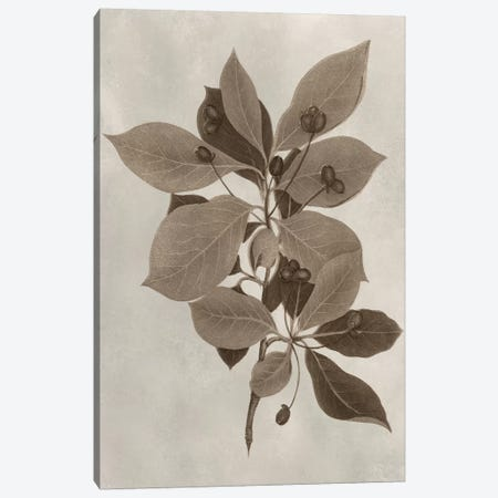 Arbor Specimen I Canvas Print #VSN200} by Vision Studio Canvas Wall Art