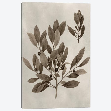Arbor Specimen IV Canvas Print #VSN203} by Vision Studio Canvas Artwork