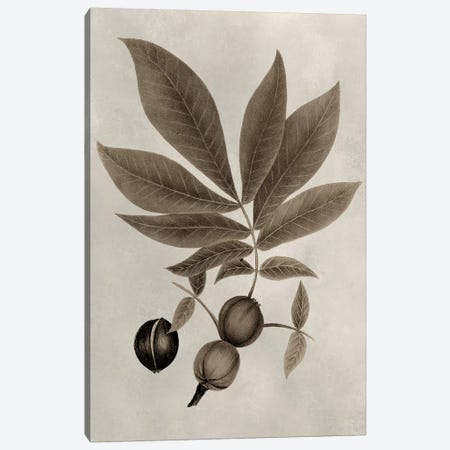 Arbor Specimen VI Canvas Print #VSN205} by Vision Studio Art Print