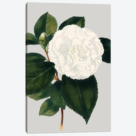 Camellia Japonica II Canvas Print #VSN20} by Vision Studio Canvas Wall Art