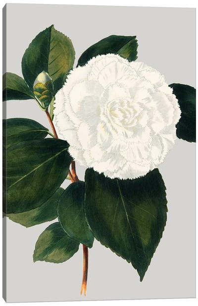 Camellia Japonica II by Vision Studio Canvas Art Print