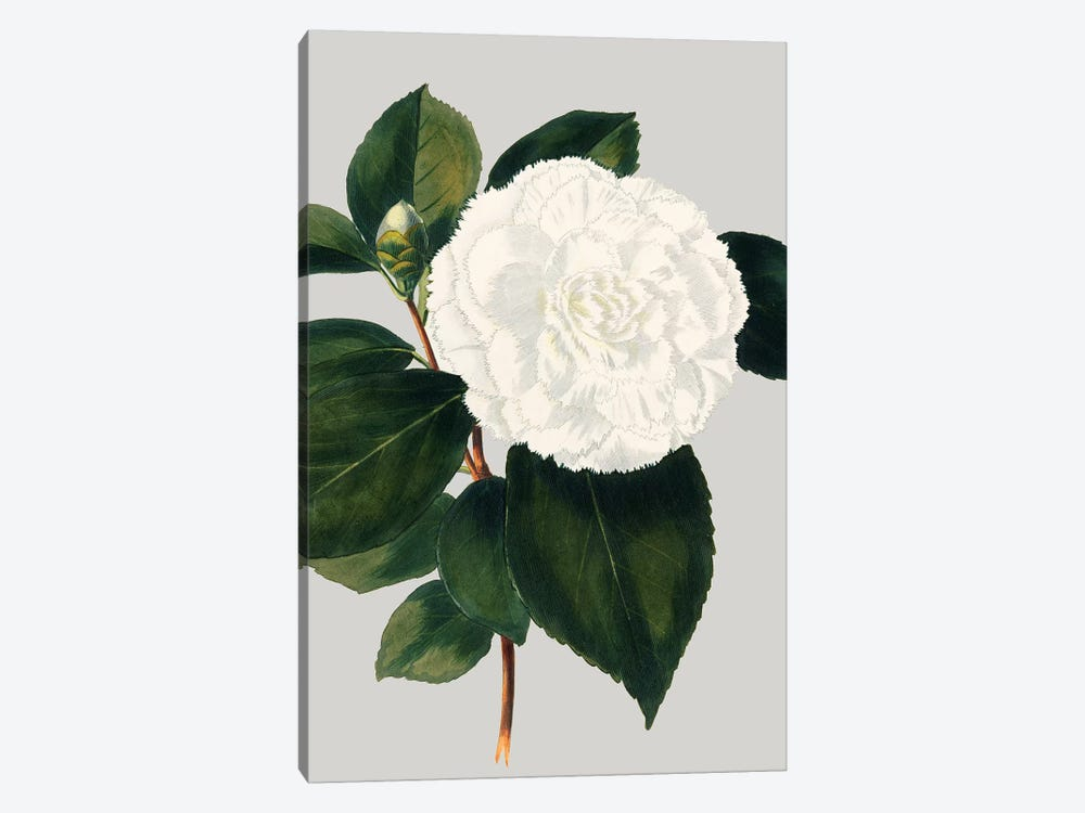 Camellia Japonica II by Vision Studio 1-piece Canvas Wall Art