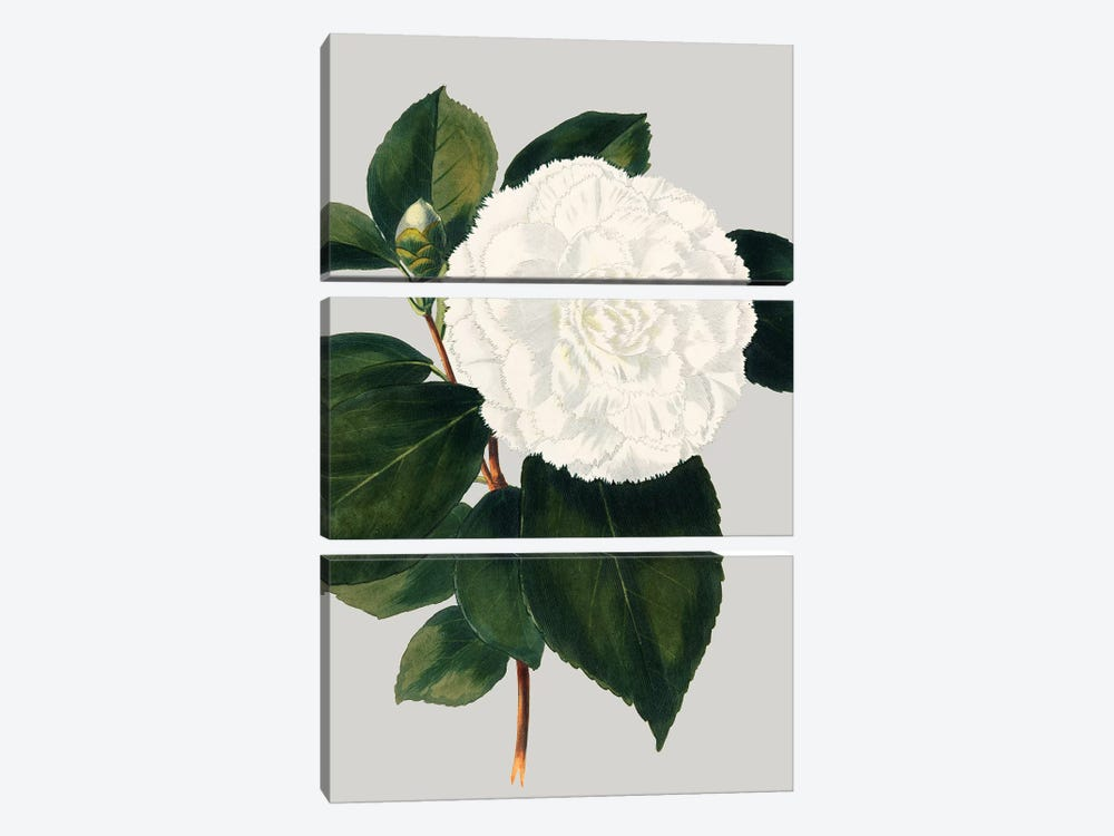 Camellia Japonica II by Vision Studio 3-piece Canvas Artwork