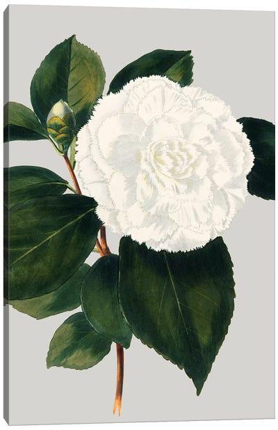 Camellia Japonica II Canvas Art Print