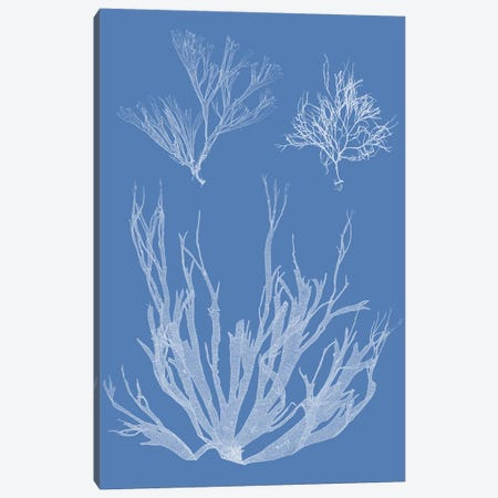 Seaweed Cyanotype I Canvas Print #VSN359} by Vision Studio Canvas Artwork