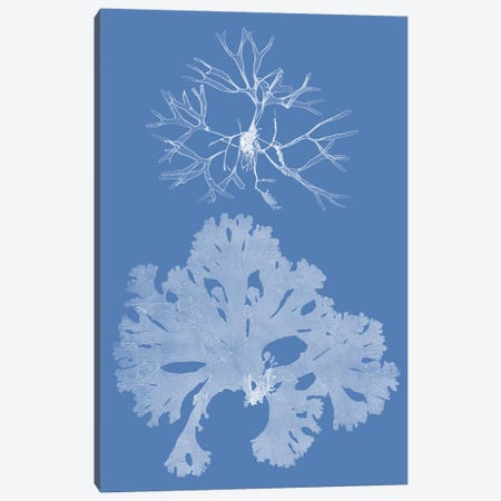 Seaweed Cyanotype III Canvas Print #VSN361} by Vision Studio Canvas Print
