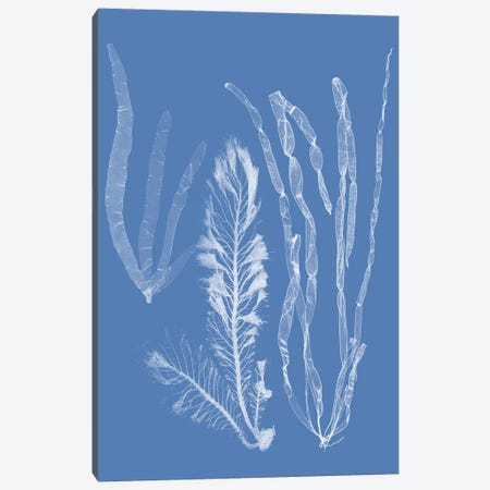 Seaweed Cyanotype IV Canvas Print #VSN362} by Vision Studio Canvas Print