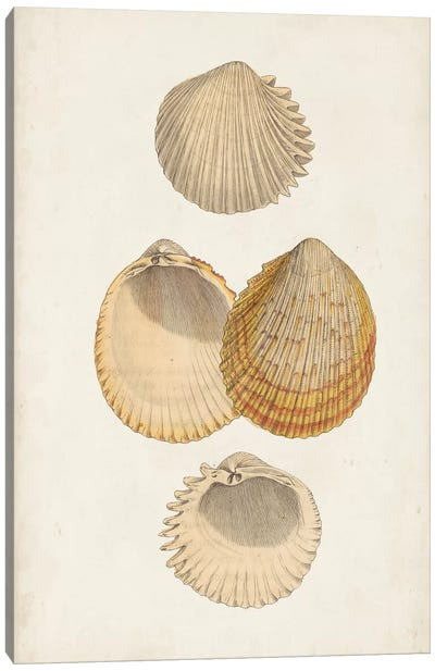 Antiquarian Shell Study II Canvas Art Print