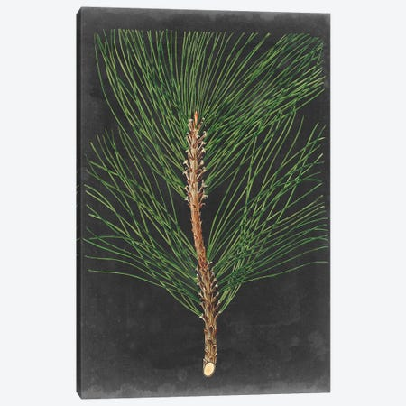 Dramatic Pine I Canvas Print #VSN396} by Vision Studio Canvas Print