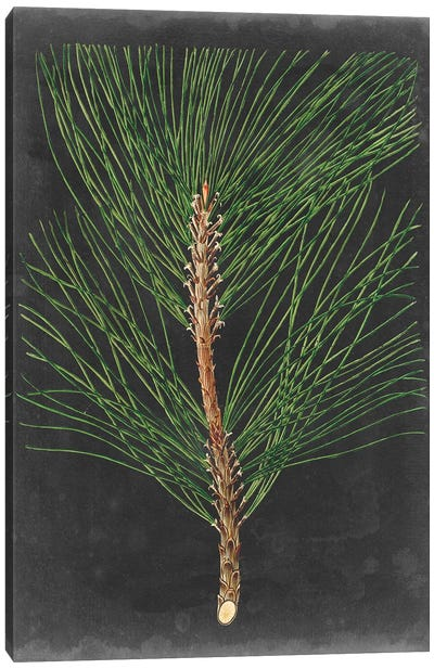 Dramatic Pine I Canvas Art Print