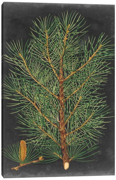 Dramatic Pine II Canvas Art Print