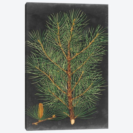 Dramatic Pine II Canvas Print #VSN397} by Vision Studio Art Print
