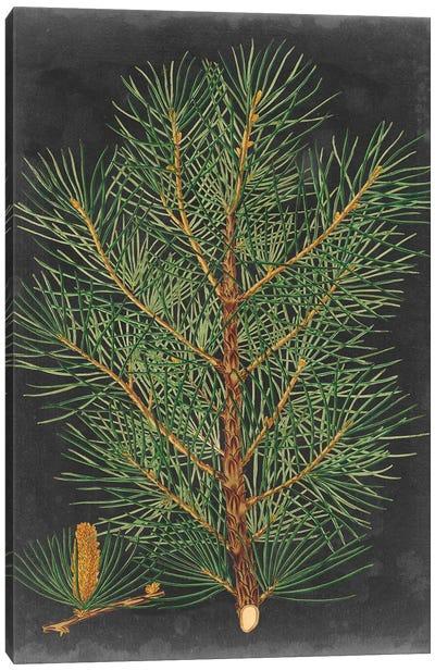 Dramatic Pine II Canvas Art Print