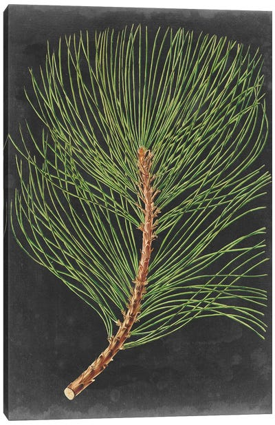 Dramatic Pine III Canvas Art Print
