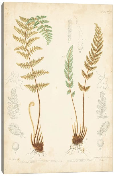 Fern Study I Canvas Art Print