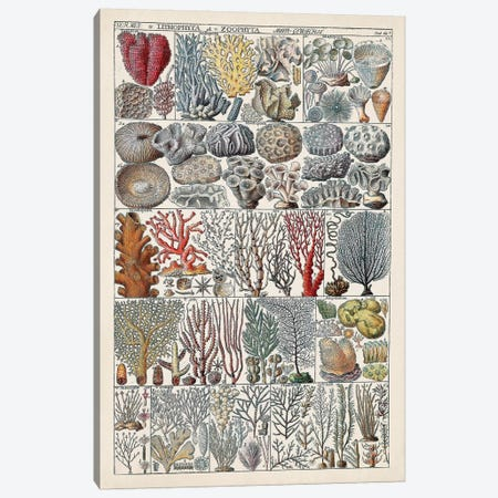 Coral Chart Canvas Print #VSN584} by Vision Studio Canvas Artwork