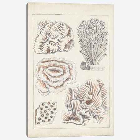 Antique White Coral I Canvas Print #VSN613} by Vision Studio Art Print